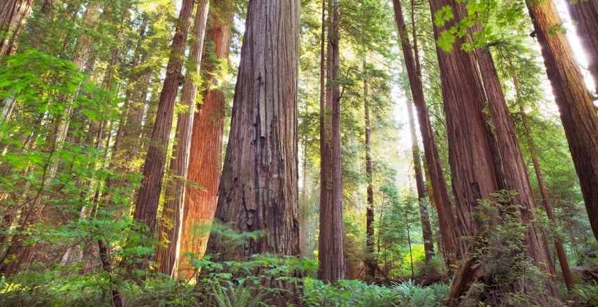 redwood-national-park-california-trees